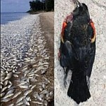 Mass deaths of fish and birds .. why?