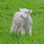 Spotless Passover Lamb