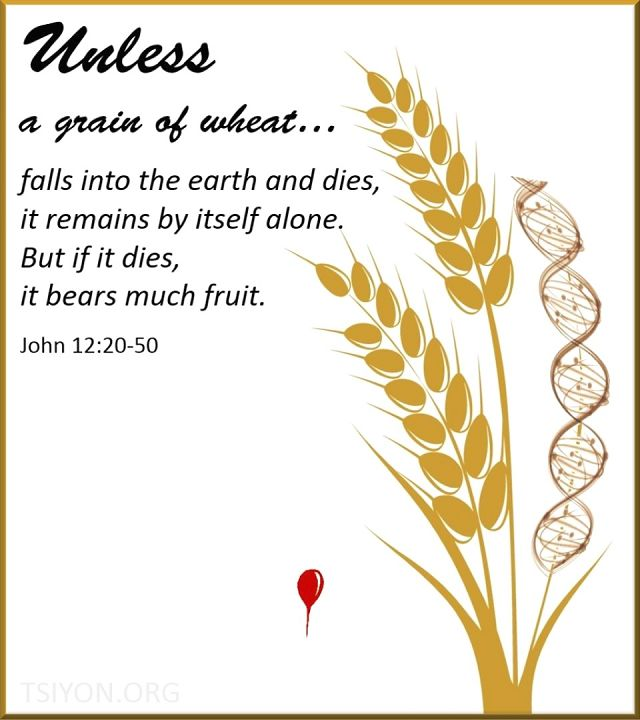 This is an image of wheat with DNA intertwinned and the verse Unless a grain of wheat...falls into the earth and dies it remains alone but if it dies it bears much fruit John 12.20-50
