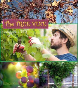 Tsiyon News The True Vine John chapter 15 and 16